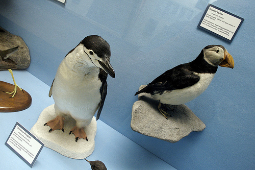 Stuffed Chinstrap Penguin and Atlantic Puffin.