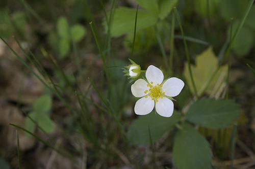 Wild strawberry flower. Taken in Franconia Notch, NH last summer.
