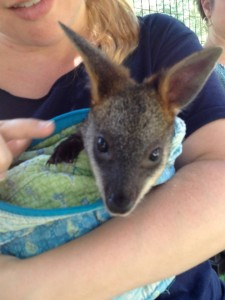 fb-kangaroo